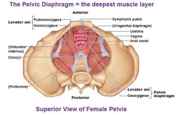 muscles-of-the-pelvic-floor-diaphragm-levator-ani-coccygeus-pubococcygeus-iliococcygeus